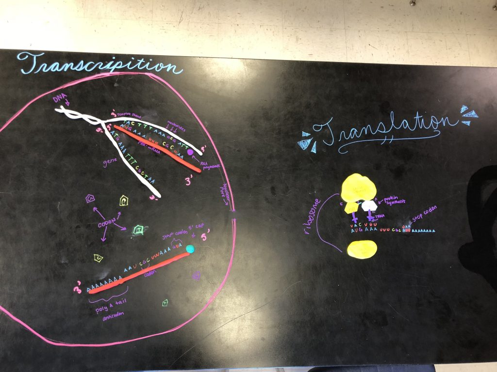 A protein synthesis model using play dough and chalk markers